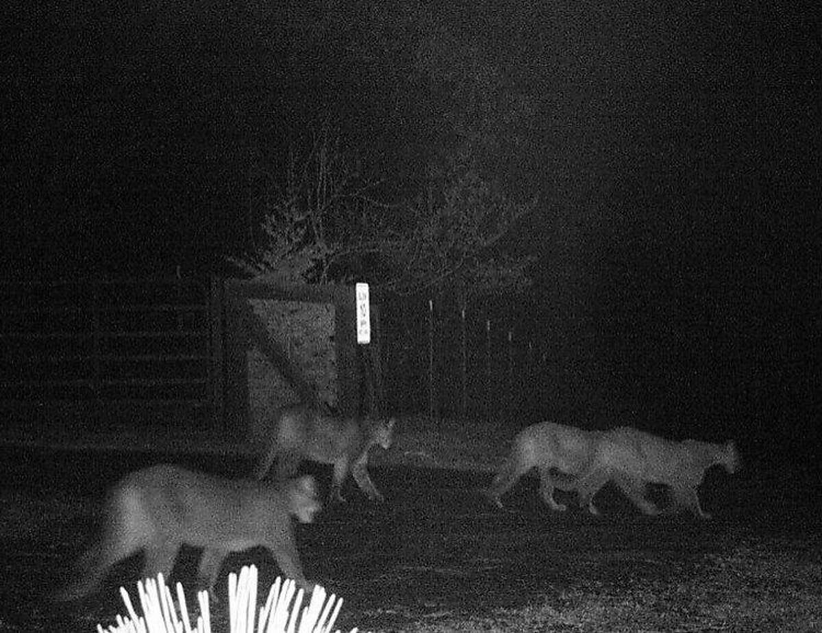 With a motion-activated wildlife cam, four mountain lions are caught trolling outside Tami Sutton's house near Georgetown, El Dorado County. In the past month, two dogs have been reported missing in the area.