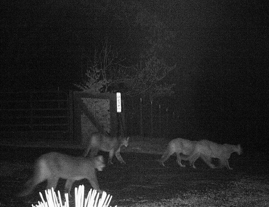 A motion-activated wildlife camera captures a picture of four mountain lions as they stroll near a house in Georgetown in El Dorado County. Photo: Tami Sutton