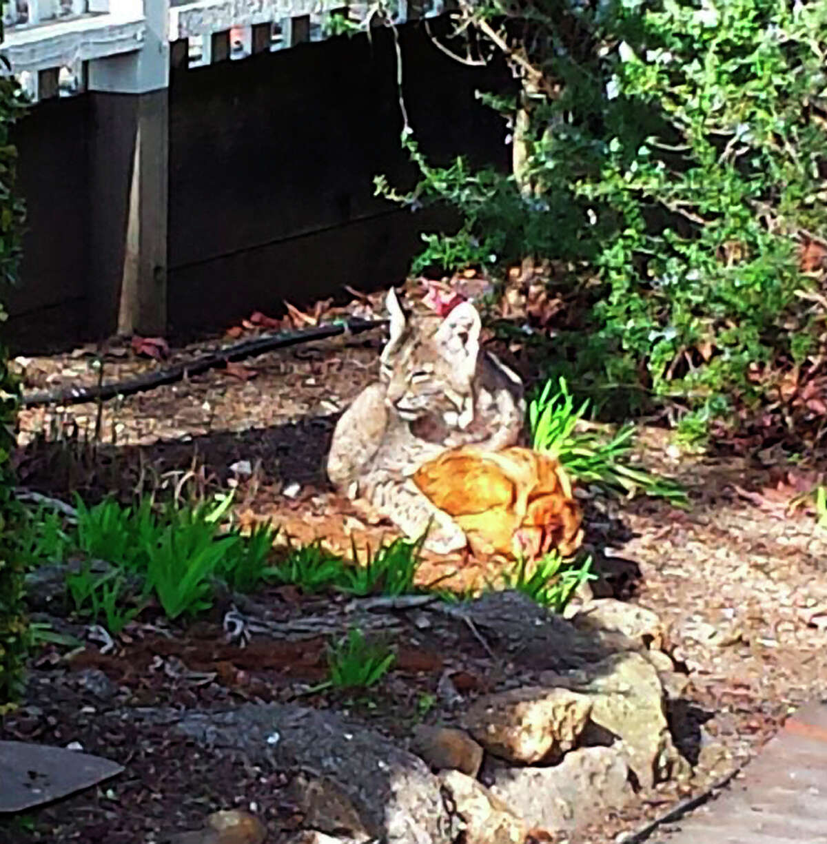 In Fairfax, a bobcat takes a break while having its dinner - a chicken raided from a local coop.