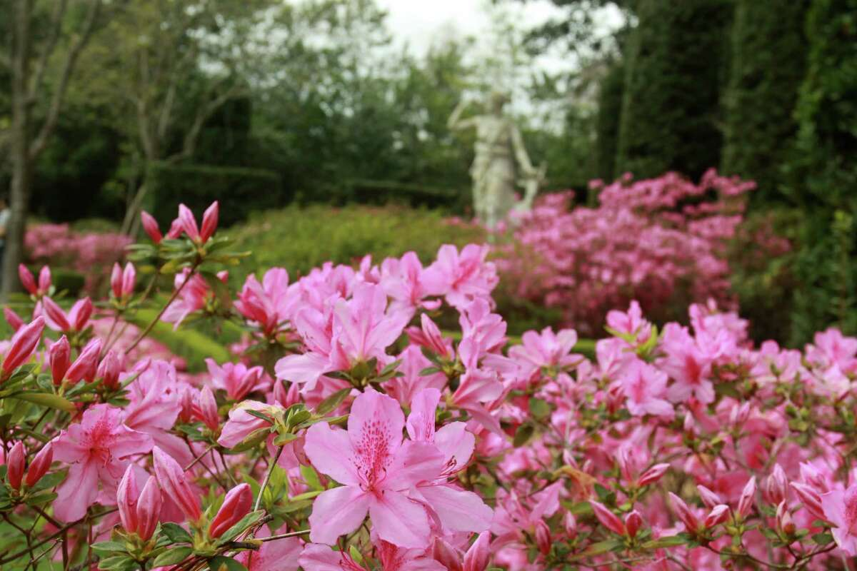 (For the Chronicle/Gary Fountain) Azaleas blooming in the Diana Garden at Bayou Bend Gardens.