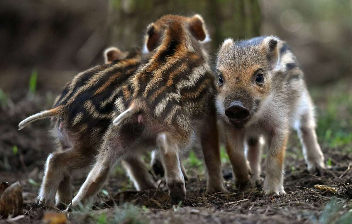 CAMERA HAMS: Two baby boars moon a photographer at Erlebnisbauernhof adventure farm in Klaistow, Germany. Their sibling, however, faces the camera like a good little piggy.