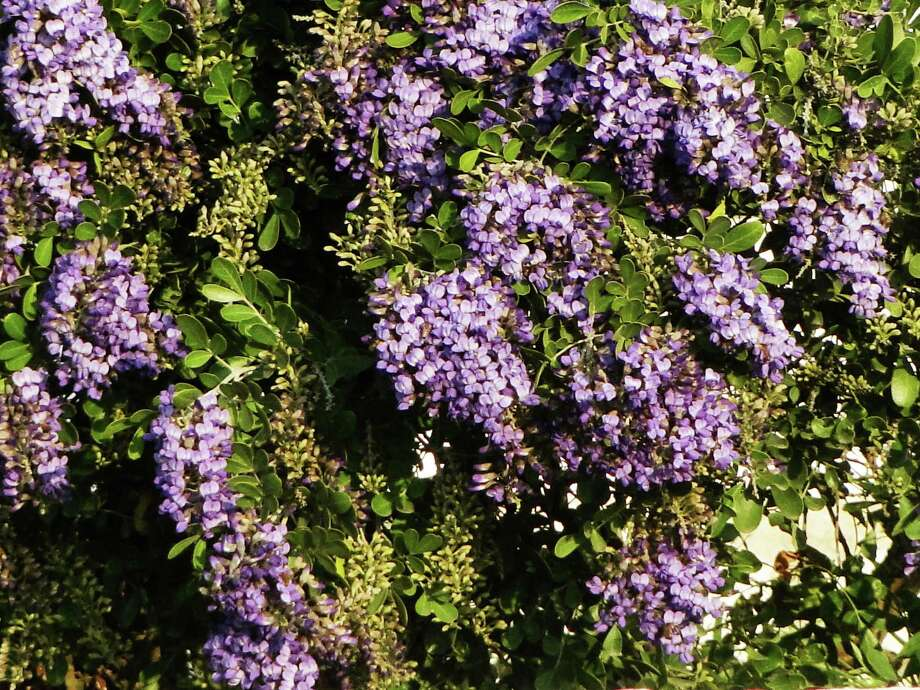 Blooms on Texas mountain laurel perfume the air with the scent of grape Kool-Aid from late February to mid-March. The evergreen plants look pretty in the landscape year-round. Photo: Tracy Hobson Lehmann /San Antonio Express-News