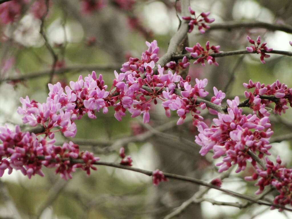Signs of spring are blossoming in small trees san antonio express news temperatures will continue to swing between winter and summer after redbuds bloom but the pink mightylinksfo