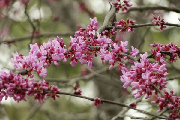 Signs Of Spring Are Blossoming In Small Trees Expressnews Com