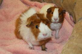 Two of the guinea pigs San Francisco Animal Care & Control rescued from Dolores Park this week.