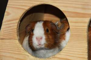 Dolores Park guinea pig enjoying its temporary home at San Francisco Animal Care & Control.