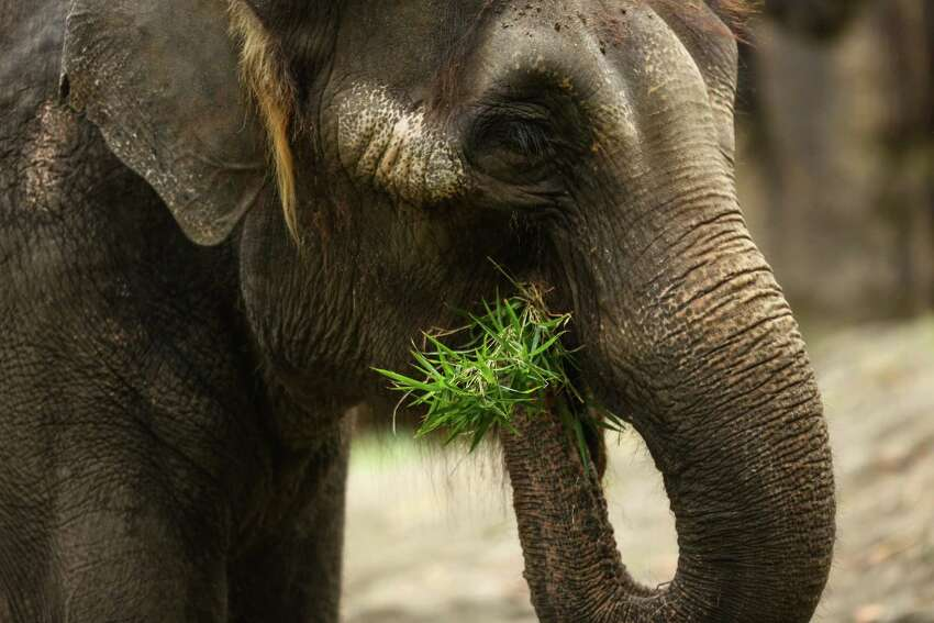 Chai eats grass after Woodland Park Zoo announced that its two elephants will go on long-term loan to the Oklahoma City Zoo. Photographed on Friday, February 27, 2015.