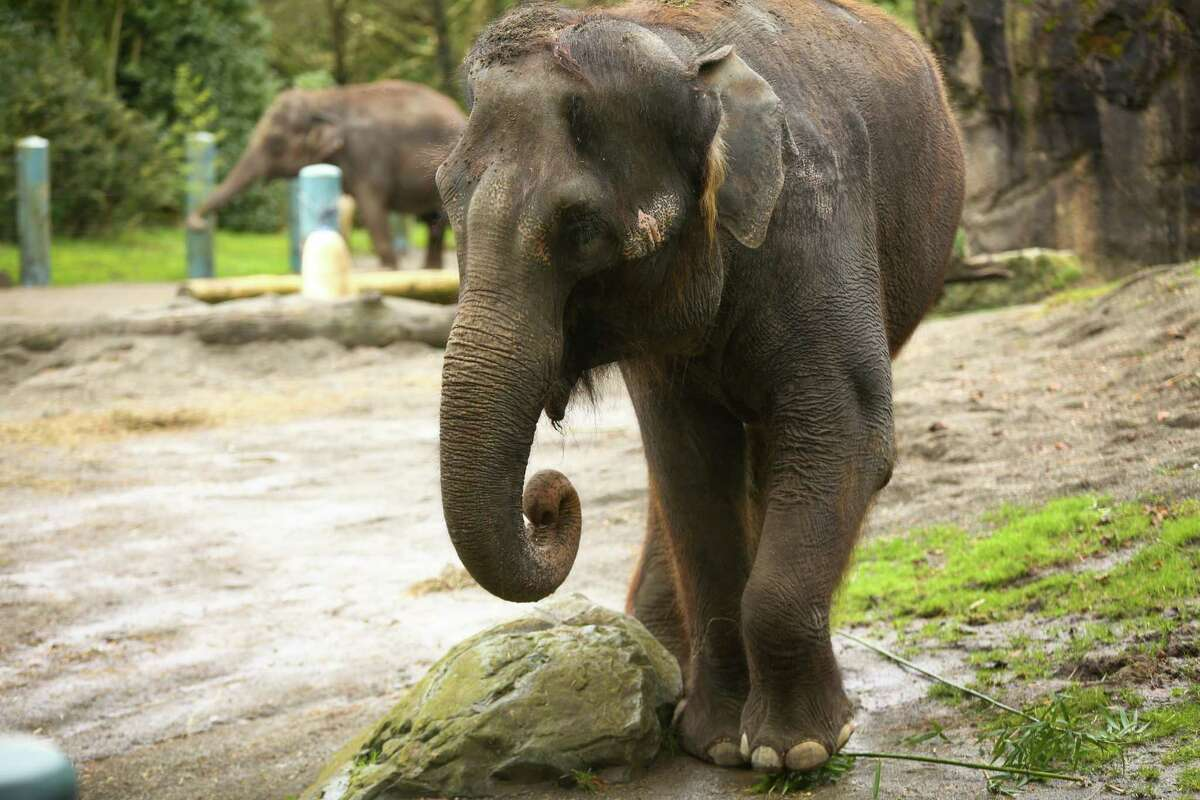 Woodland Park Zoo's elephants Bamboo and Chai are shown in their enclosure after Woodland Park Zoo announced that its two elephants will go on long-term loan to the Oklahoma City Zoo. Photographed on Friday, February 27, 2015.