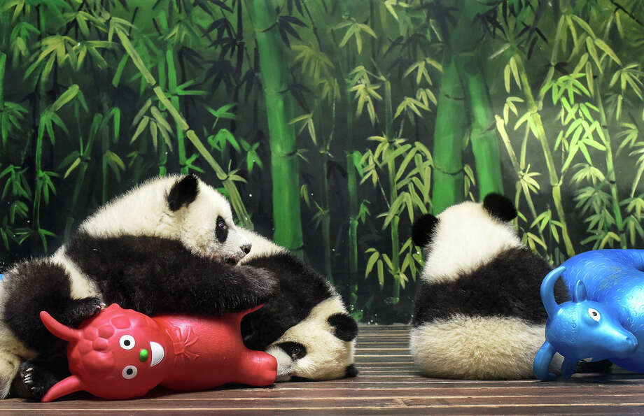 Triplet panda cubs play with toys last month at a wildlife park in China's Guangdong province. Photo: Associated Press / CHINATOPIX