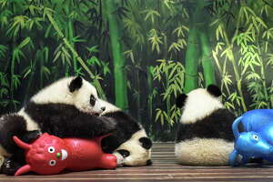 China's panda population rising - Photo
