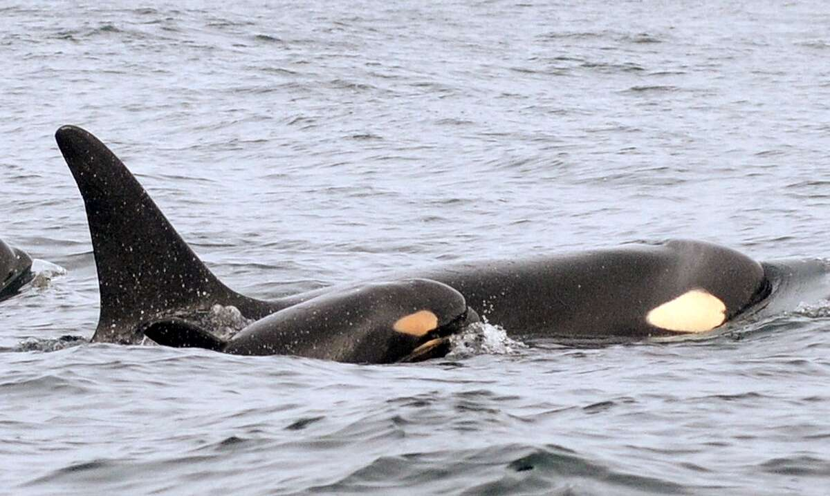 In this Wednesday, Feb. 25, 2015 photo provided by the National Oceanic and Atmospheric Administration, (NOAA) a new baby orca swims alongside an adult whale, believed to be its mother, about 15 miles off the coast of Westport, Wash. U.S. biologists following endangered killer whales from a research vessel spotted the newborn orca off the coast of Washington state on Wednesday with other whales in the �L� pod, one of three families of southern resident killer whales that frequent inland Washington waters. This is the third baby born to the whale pods in recent months, bringing the Puget Sound�s endangered population to 80, still dangerously low.