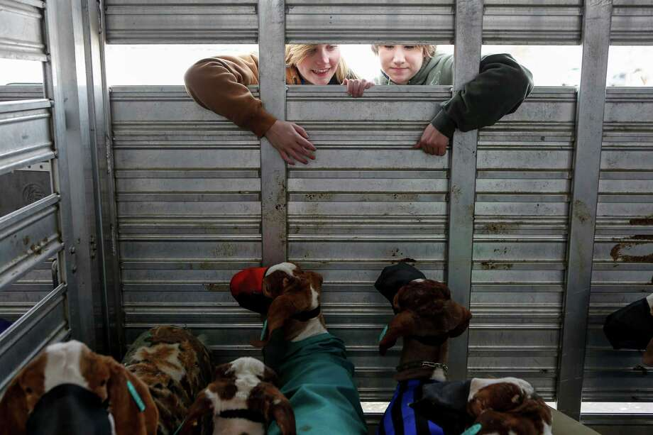 The Madison High School FFA trailer with all the students' goats and lambs is outside of the barns Feb. 17 at the San Antonio Stock Show & Rodeo. Seniors Kathryn Rodrigues and Haley Hegwer peer inside the trailer, calling their goats and giving them attention shortly before unloading and taking the animals to their stalls inside the barns. Photo: Spencer Selvidge /For The San Antonio Express-News / 2014
