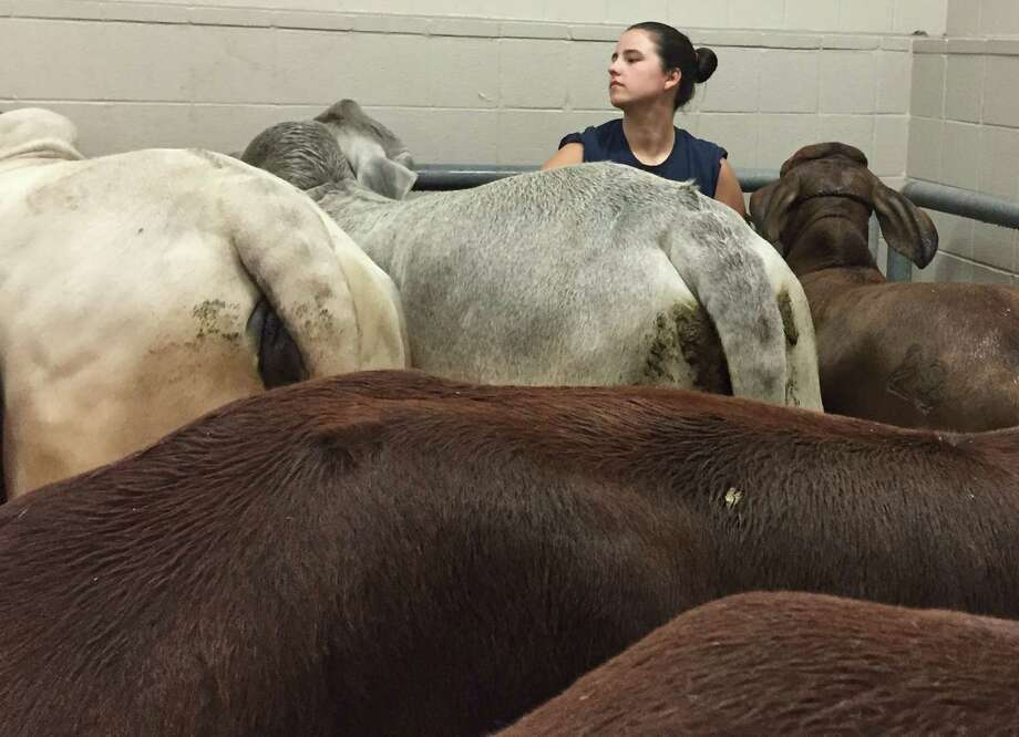 Michaela Buford of Buford Cattle Co. in Brookshire scrubs mud off her red Brahmans in a crowded washroom during RodeoHouston 2015 move-in day, Monday, March 2, 2015. Photo: Jayme Fraser | Houston Chronicle