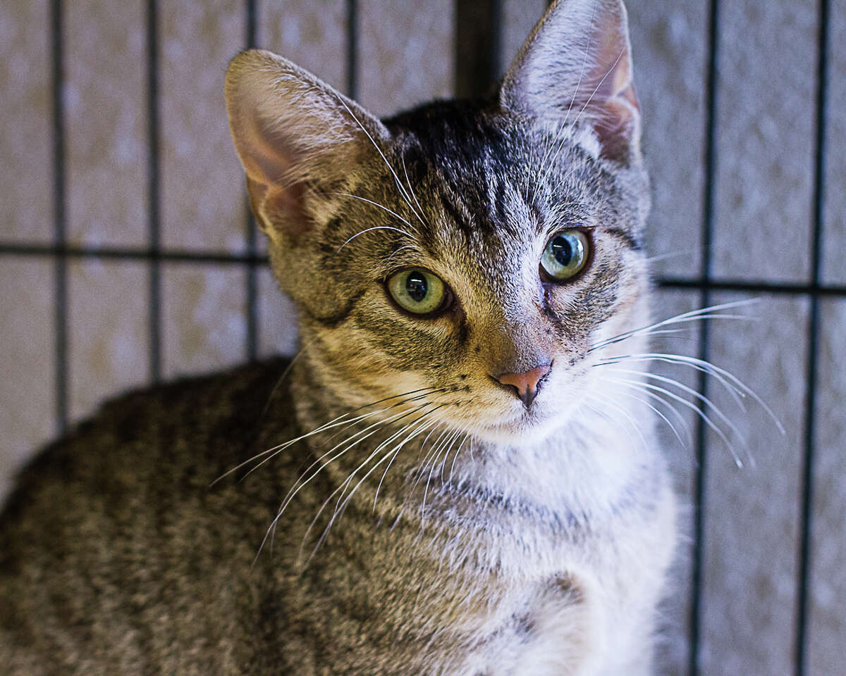 Auggie is available for adoption from Bulverde Area Humane Society