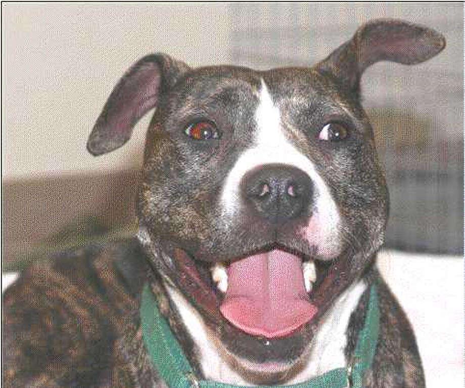 A pit bull Photo: Handout / Handout / SFC / Chronicle
