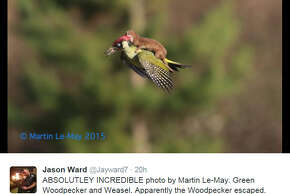 Martin Le-May captured this amazing photo of a weasel attacking a woodpecker mid-flight in London.