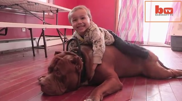 The Hulk A Ginormous 175 Pound Pit Bull Is Getting A Tv