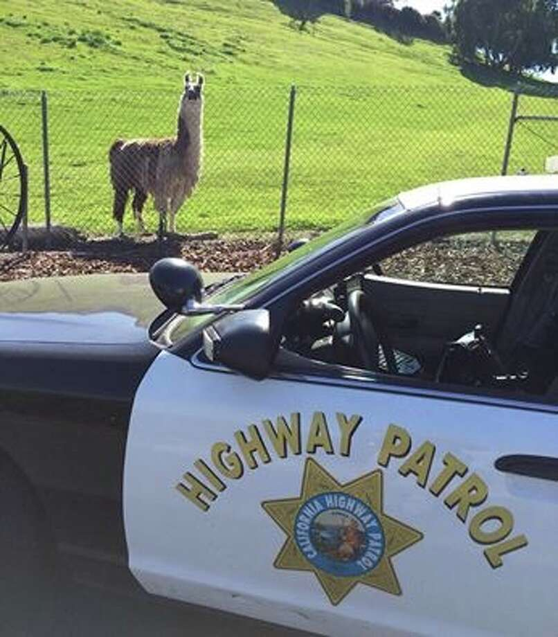 This llama wandered over to check out California Highway Patrol officers on the job in Bay Point. Photo: California Highway Patrol / ONLINE_YES