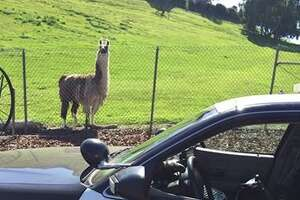 Llama hangs out with CHP officer in Bay Point - Photo