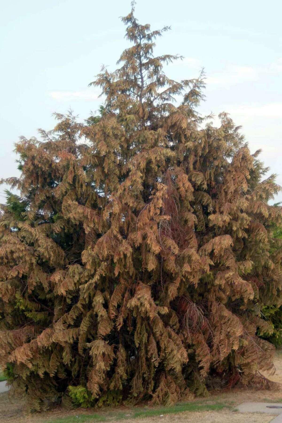 Seiridium canker has felled thousands of Leyland cypress trees across the state. Eastern red cedar juniper is a good alternative.