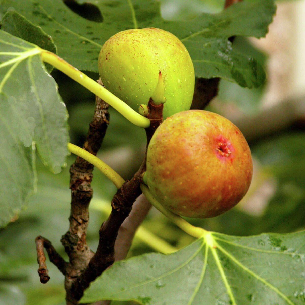 Figs require little pruning or fertilizer.