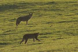 At Point Reyes National Seashore, bobcat and coyote parry as they hunt the same gopher -- the bobcat won