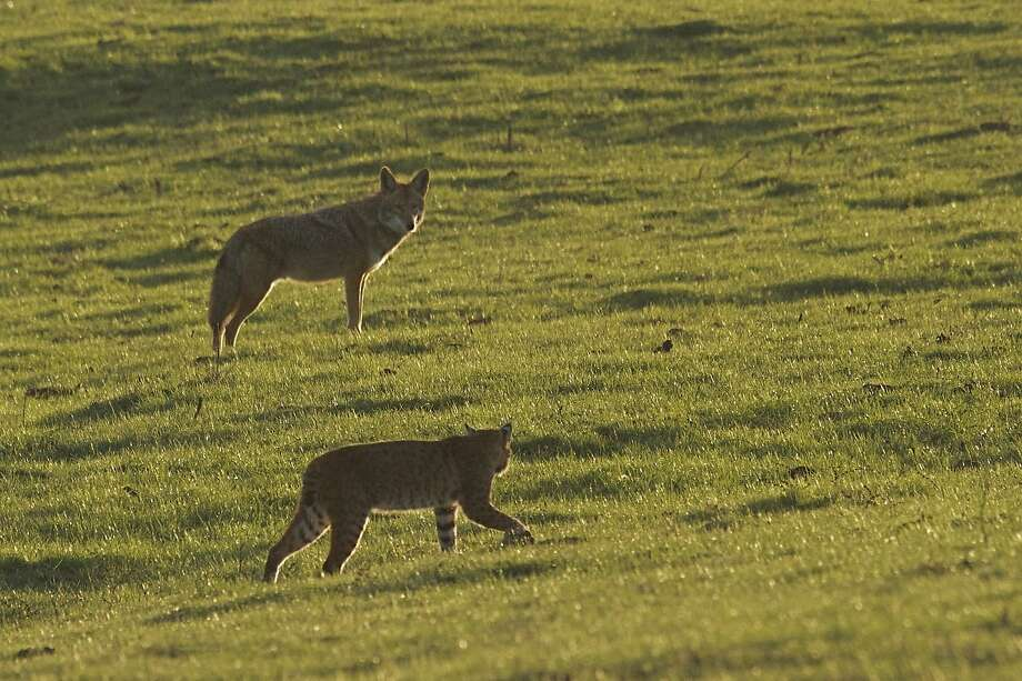 At Point Reyes National Seashore, a bobcat and a coyote parry as they hunt the same gopher — the bobcat savored the snack. Photo: Wendy Sparks