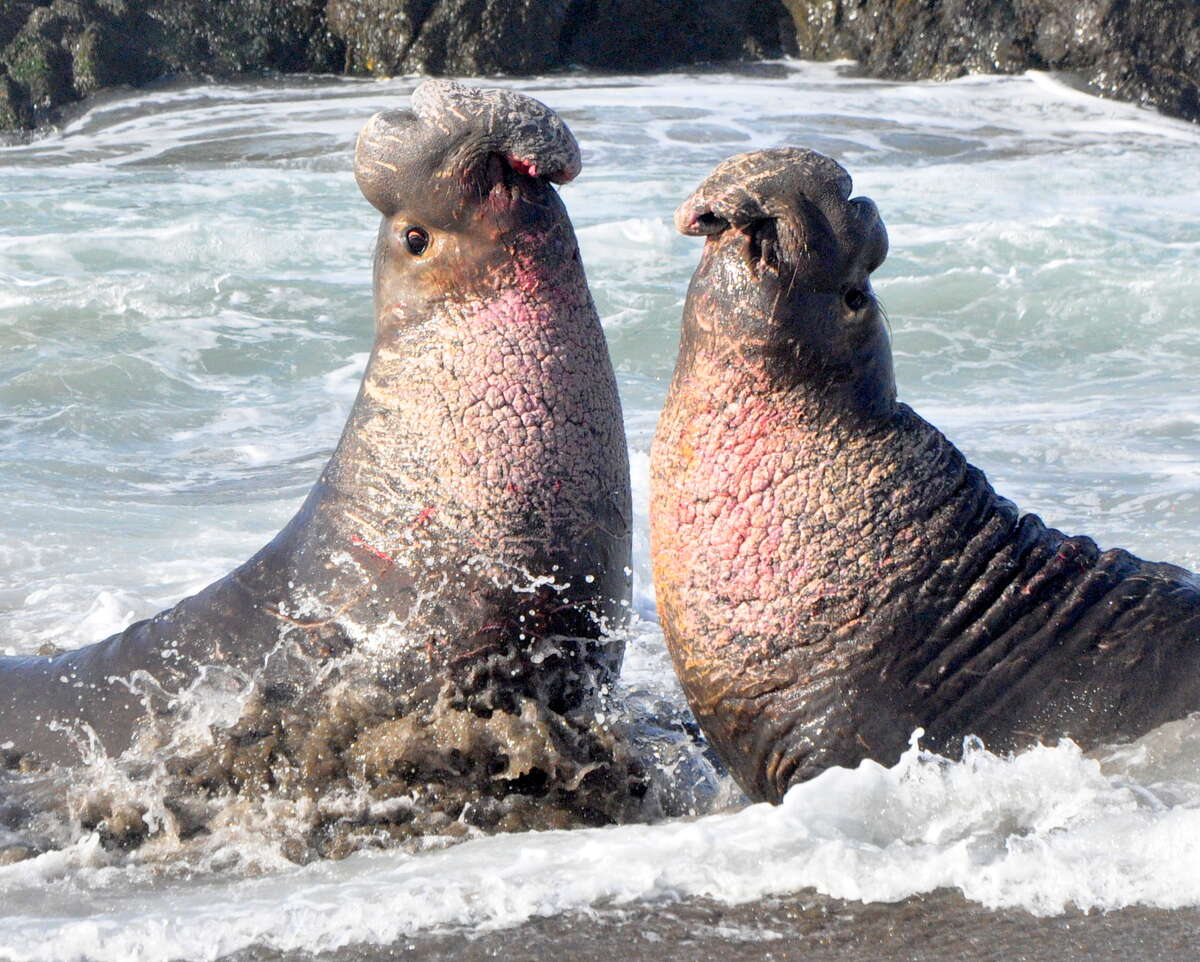 At Ano Nuevo State Park, two big bull elephant seal rise up to fight for a harem and right to mate -- they slam their teeth into the others' necks; you can see the blood on the mouth of the bull on the left