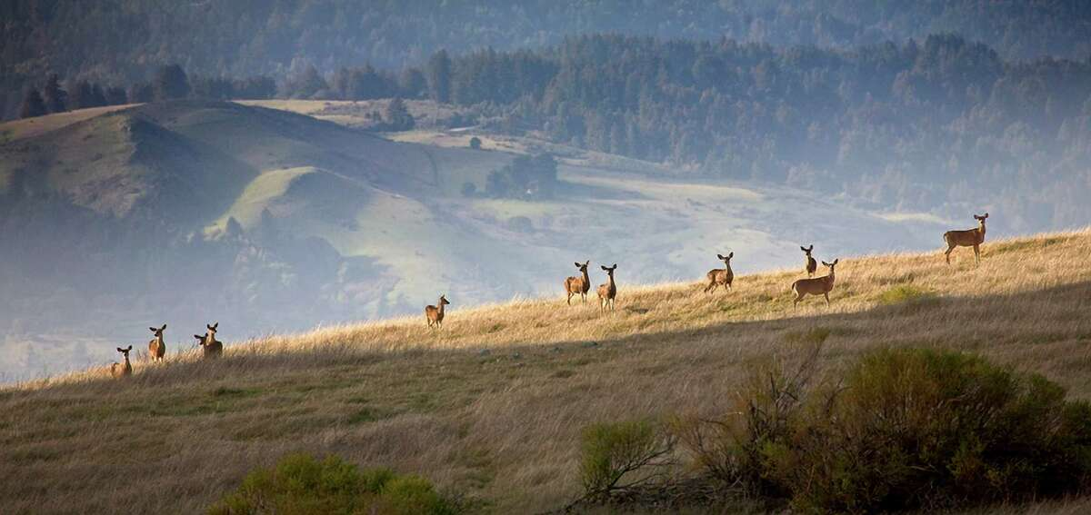 Deer traverse a ridge in the Peninsula foothills not far from Rancho San Antonio Open Space Preserve.