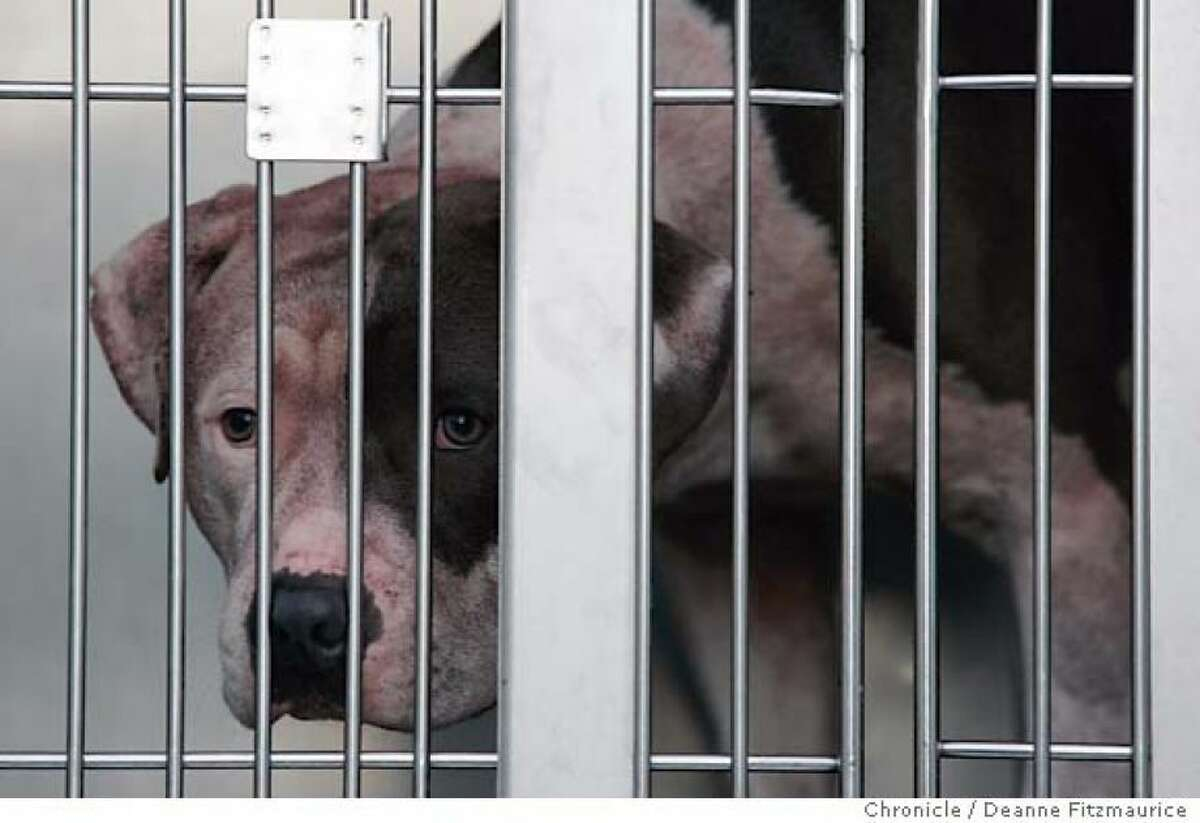 June 3, 2005: Nicholas Scott Faibish, 12, was mauled to death by his family's two 80-pound pit bulls, including Rex (pictured), inside a Sunset District apartment in San Francisco. The boy's mother discovered the tragic scene. The San Francisco district attorney filed child-endangerment charges against Nicholas' mother, Maureen Faibish, but later dropped the charges. STORY