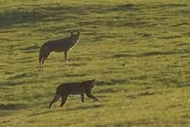 Bobcat and coyote parry as they hunt the same prey at Point Reyes National Seashore