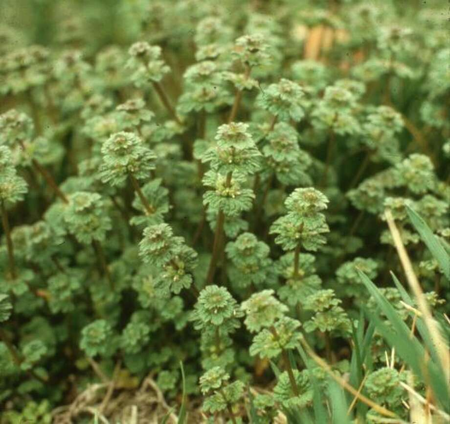Control henbit and other winter weeds by pulling or mowing. Photo: Jim McAfee /Texas A&M AgriLife Extension