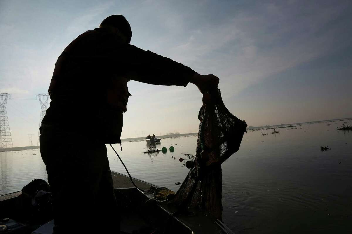 Greg Nelson, a technician for the U.S. Fish and Wildlife Service, empties a net used during a survey of fish stocks in the Sacramento-San Joaquin River Delta near Rio Vista.