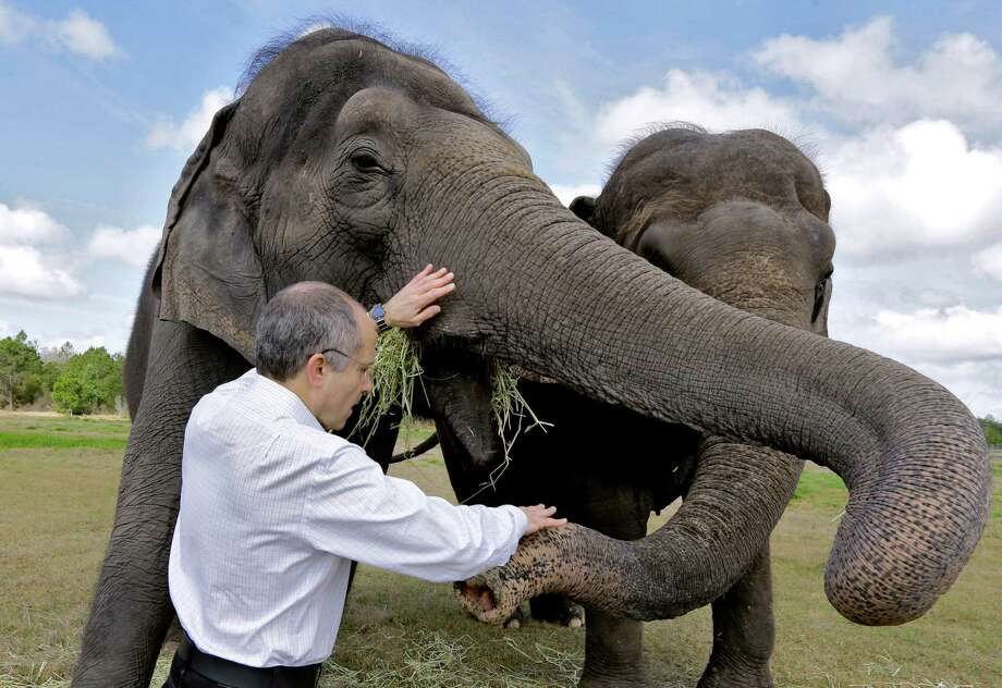 In this Tuesday, March 3, 2015 photo, Kenneth Feld, CEO of Feld Entertainment, feeds Alana and Icky at the Ringling Bros. and Barnum & Bailey Center for Elephant Conservation, in Polk City, Fla. The Ringling Bros. and Barnum & Bailey Circus said it will phase out its iconic elephant acts by 2018. Photo: Chris O'Meara, AP / AP