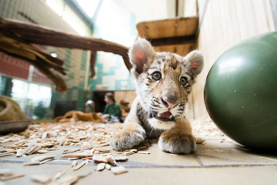 GOT MY BALL. GOT MY WOODCHIPS IN CASE I HAVE AN ACCIDENT. YEP, I'M PRETTY MUCH ALL SET:Twelve-week old Siberian tiger cub Alisha plays in her enclosure at the Tierpark zoo in Berlin. Photo: Gregor Fischer, AFP / Getty Images