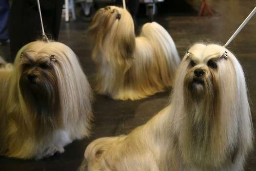 Lhasa ApsoAverage price: $550Tier: Fair working/Obedience intelligence Photo: Carl Court, Getty Images