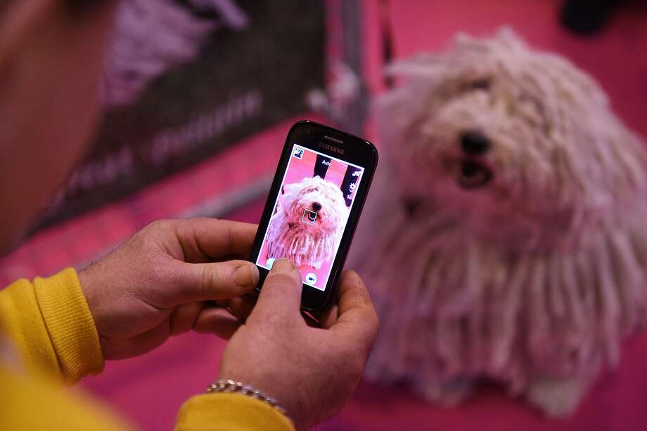 A man uses a mobile phone to photograph a Hungarian Puli dog being shown on the first day of the Crufts dog show at the National Exhibition Centre in Birmingham, central England, on March 5, 2015. Crufts is one of the largest dog events in the the world, with thousands of dogs competing for the coveted title of 'Best in Show'. Founded in 1891 by the late Charles Cruft, today the four-day show attracts entrants from around the world.  AFP PHOTO / OLI SCARFFOLI SCARFF/AFP/Getty Images Photo: Oli Scarff, AFP / Getty Images