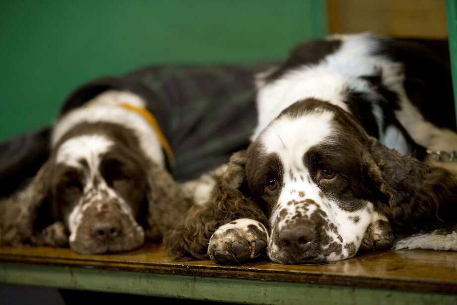 English Springer Spaniels sleep in their pen on the first day of the Crufts dog show at the National Exhibition Centre in Birmingham, central England on March 5, 2015. Crufts is one of the largest dog events in the the world, with thousands of dogs competing for the coveted title of 'Best in Show'. Founded in 1891 by the late Charles Cruft, today the four-day show attracts entrants from around the world.  AFP PHOTO / OLI SCARFFOLI SCARFF/AFP/Getty Images Photo: Oli Scarff, AFP / Getty Images