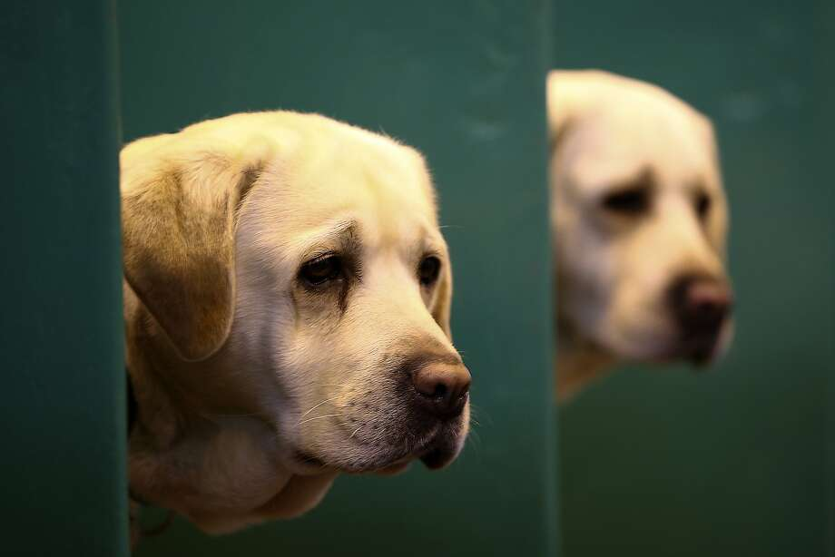 BIRMINGHAM, ENGLAND - MARCH 05: Labradors peer from their boxes on the first day of Crufts dog show at the National Exhibition Centre on March 5, 2015 in Birmingham, England. First held in 1891, Crufts is said to be the largest show of its kind in the world, the annual four-day event, features thousands of dogs, with competitors travelling from countries across the globe to take part and vie for the coveted title of 'Best in Show'.  (Photo by Carl Court/Getty Images) Photo: Carl Court, Getty Images