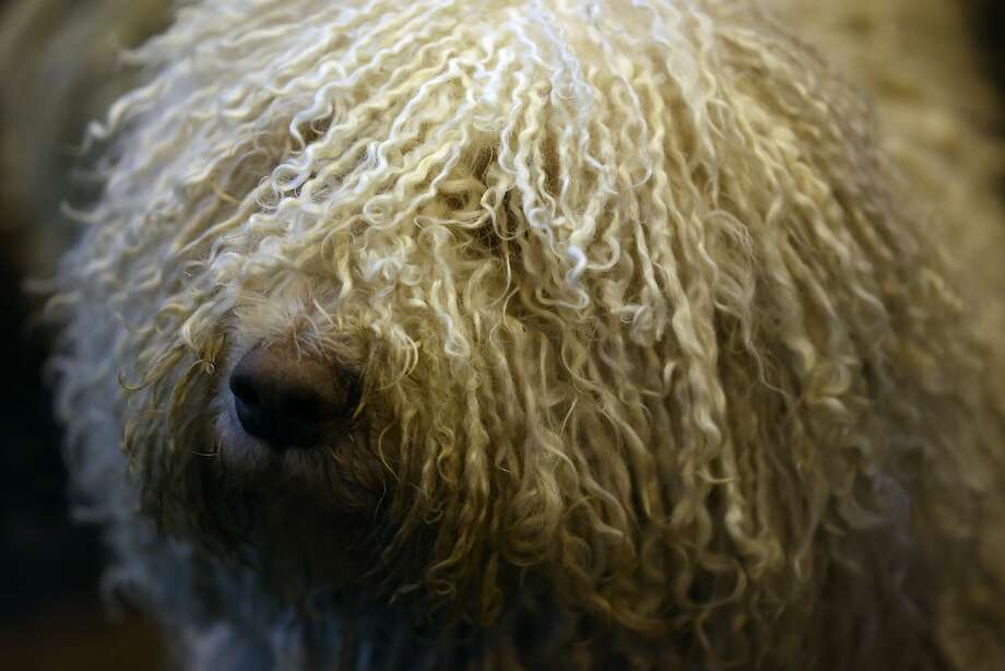 BIRMINGHAM, ENGLAND - MARCH 05: A Komondor is pictured on the first day of Crufts dog show at the National Exhibition Centre on March 5, 2015 in Birmingham, England. First held in 1891, Crufts is said to be the largest show of its kind in the world, the annual four-day event, features thousands of dogs, with competitors travelling from countries across the globe to take part and vie for the coveted title of 'Best in Show'.  (Photo by Carl Court/Getty Images) Photo: Carl Court, Getty Images