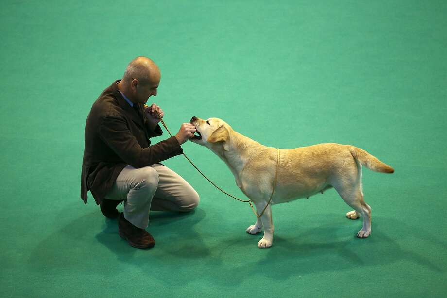 BIRMINGHAM, ENGLAND - MARCH 05: A competitor gives a treat to his Labrador as they compete on the first day of Crufts dog show at the National Exhibition Centre on March 5, 2015 in Birmingham, England. First held in 1891, Crufts is said to be the largest show of its kind in the world, the annual four-day event, features thousands of dogs, with competitors travelling from countries across the globe to take part and vie for the coveted title of 'Best in Show'.  (Photo by Carl Court/Getty Images) Photo: Carl Court, Getty Images