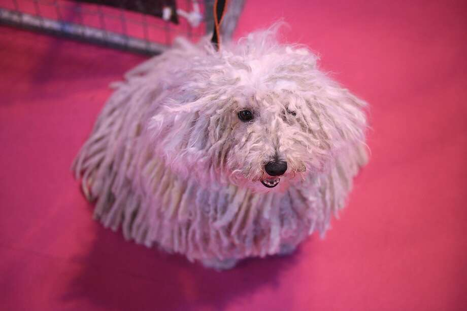 A Hungarian Puli dog is pictured on the first day of the Crufts dog show at the National Exhibition Centre in Birmingham, central England, on March 5, 2015. Crufts is one of the largest dog events in the the world, with thousands of dogs competing for the coveted title of 'Best in Show'. Founded in 1891 by the late Charles Cruft, today the four-day show attracts entrants from around the world.  AFP PHOTO / OLI SCARFFOLI SCARFF/AFP/Getty Images Photo: Oli Scarff, AFP / Getty Images
