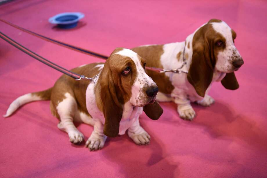 Basset Hounds are pictured on the first day of the Crufts dog show at the National Exhibition Centre in Birmingham, central England, on March 5, 2015. Crufts is one of the largest dog events in the the world, with thousands of dogs competing for the coveted title of 'Best in Show'. Founded in 1891 by the late Charles Cruft, today the four-day show attracts entrants from around the world.  AFP PHOTO / OLI SCARFFOLI SCARFF/AFP/Getty Images Photo: Oli Scarff, AFP / Getty Images