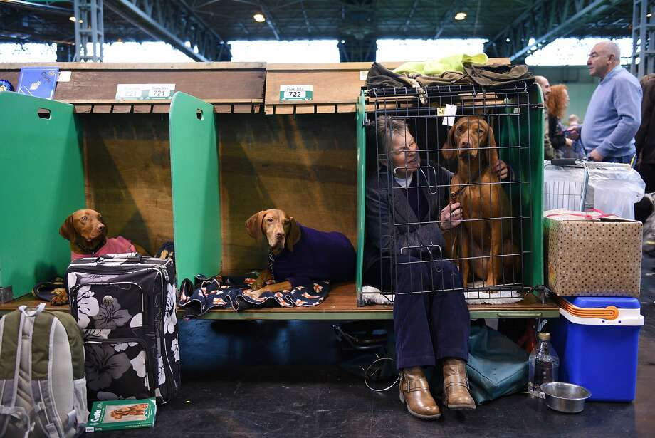 TOPSHOTS A woman joins her Hungarian Vizsla dog in its cage on the first day of the Crufts dog show at the National Exhibition Centre in Birmingham, central England on March 5, 2015. Crufts is one of the largest dog events in the the world, with thousands of dogs competing for the coveted title of 'Best in Show'. Founded in 1891 by the late Charles Cruft, today the four-day show attracts entrants from around the world.  AFP PHOTO / OLI SCARFFOLI SCARFF/AFP/Getty Images Photo: Oli Scarff, AFP / Getty Images