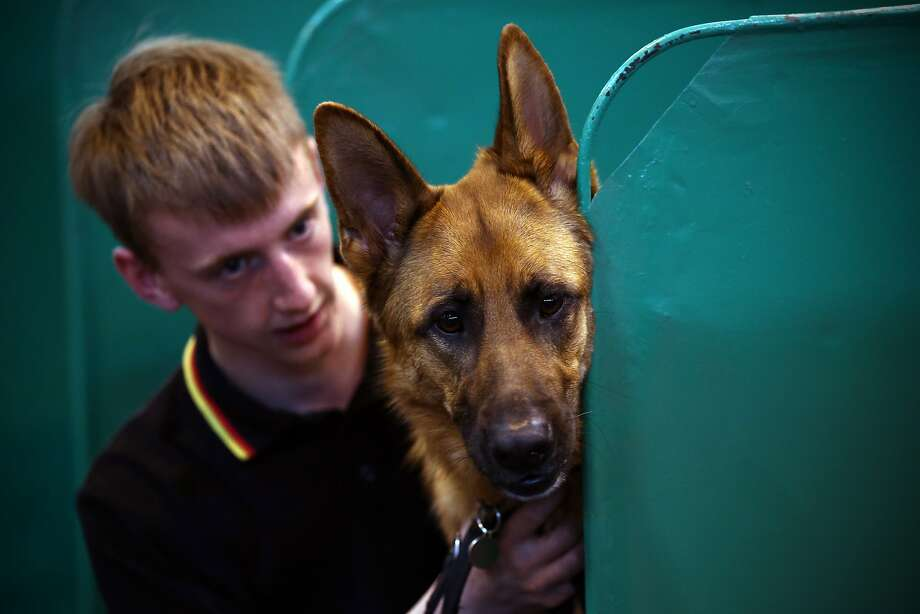 BIRMINGHAM, ENGLAND - MARCH 05:  A young man sits with his German Shepherd on the first day of Crufts dog show at the National Exhibition Centre on March 5, 2015 in Birmingham, England. First held in 1891, Crufts is said to be the largest show of its kind in the world, the annual four-day event, features thousands of dogs, with competitors travelling from countries across the globe to take part and vie for the coveted title of 'Best in Show'.  (Photo by Carl Court/Getty Images) Photo: Carl Court, Getty Images