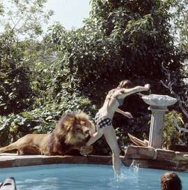 Actress Melanie Griffith jumps into a swimming pool as her pet lion Neil grabs her leg and goes to bite her leg, Sherman Oaks, California, May 1971.