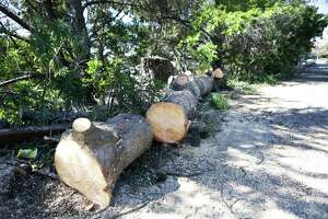 S.F. parks manager critically hurt by falling tree - Photo