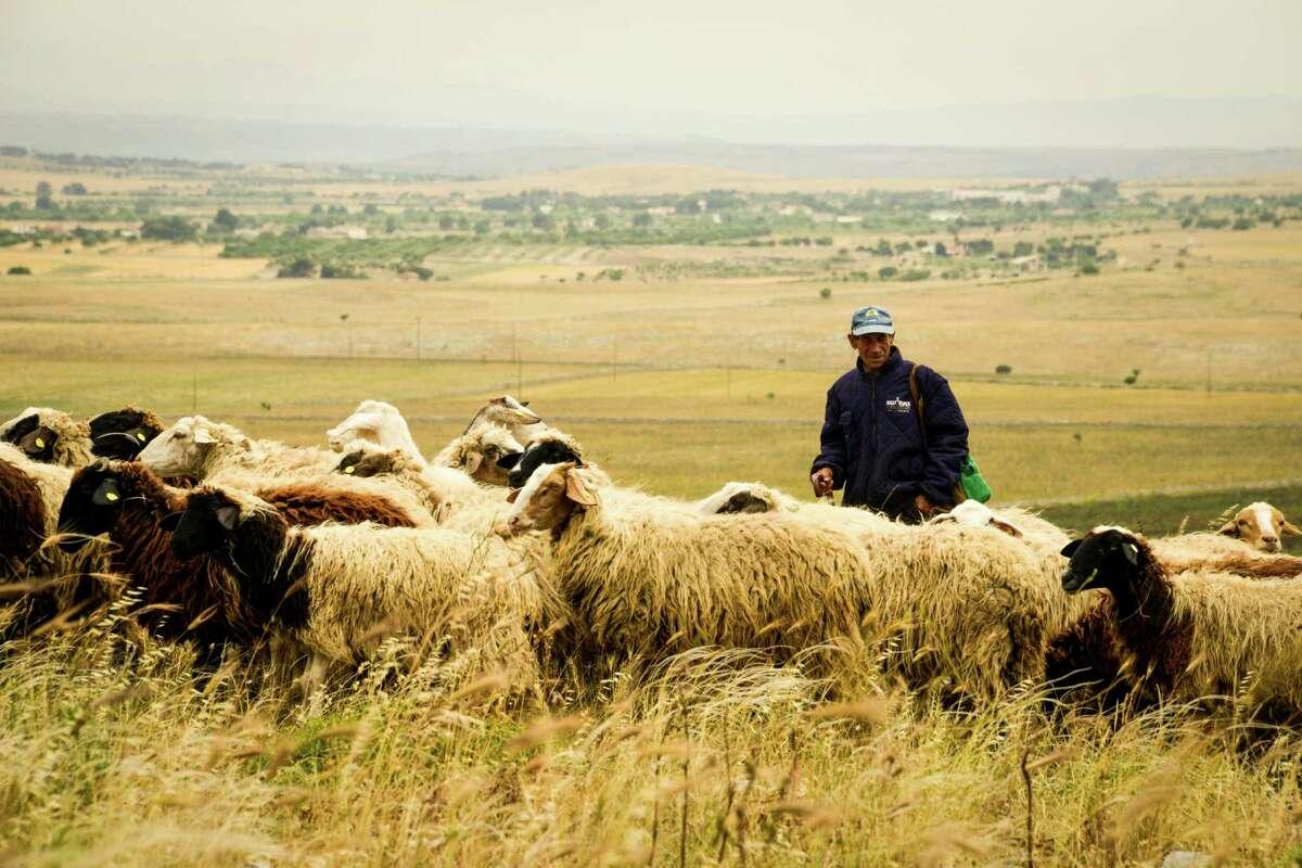 Graziantonio Creanza leads his sheep in the wide-open spaces of the Murgia.