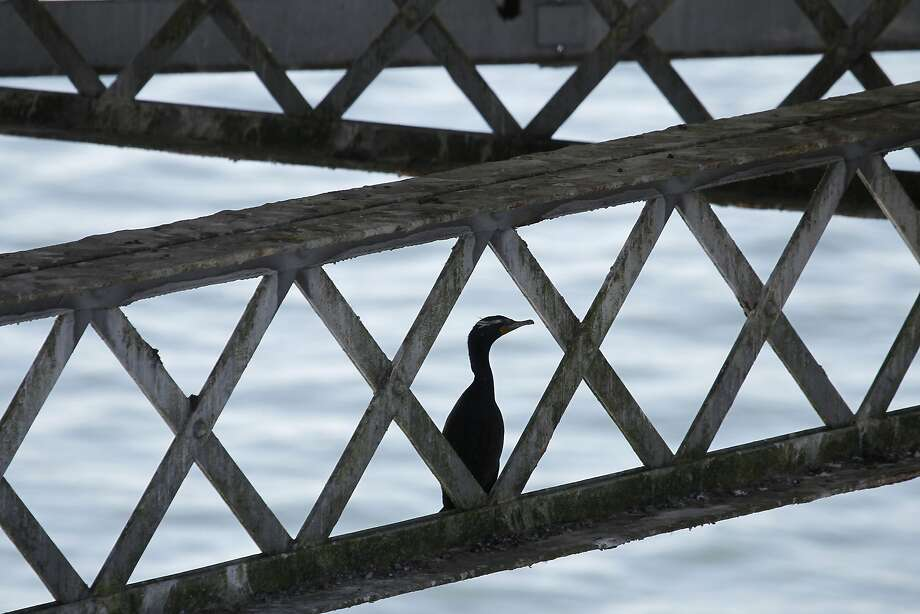 A cormorant roosts below the old Bay Bridge span where demolition work continues in Oakland, Calif. on Thursday, March 5, 2015. Caltrans says it has come up with a plan how to deal with the protected cormorants that have become so fond of the old eastern span that they have refused to leave. Photo: Paul Chinn, The Chronicle