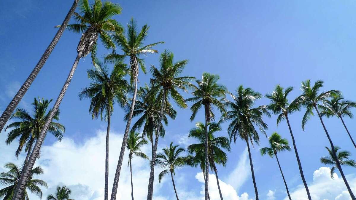 Coconut palms tower over the Ka Honua Momona volunteer base, causing a reasonable detour.